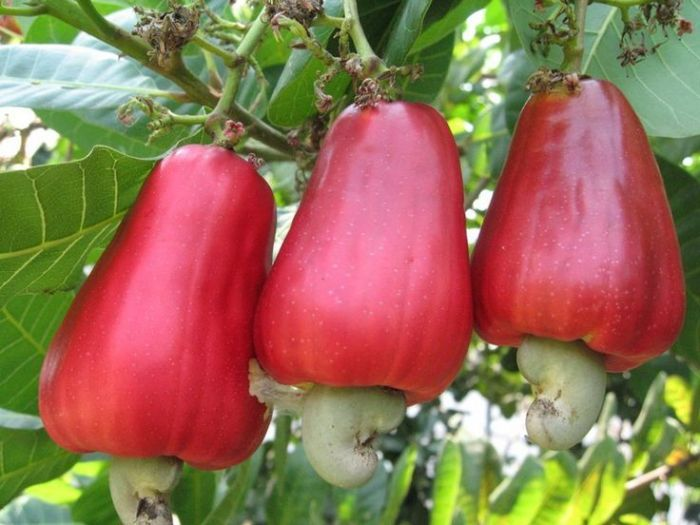 Authorities seek to crack African cashew nut caper